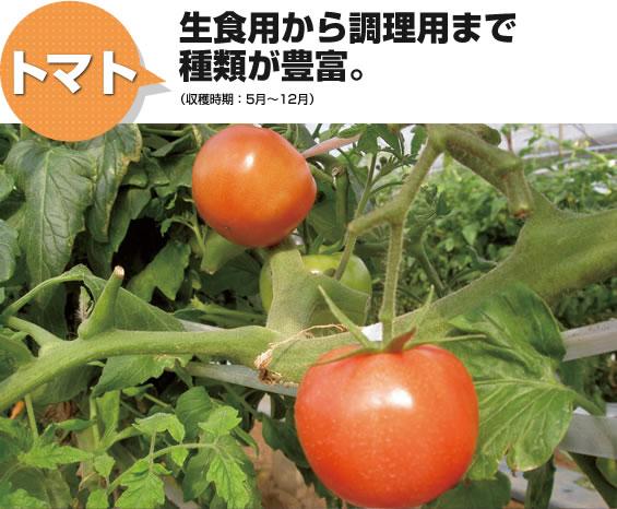 トマト 生食用から調理用まで種類が豊富。